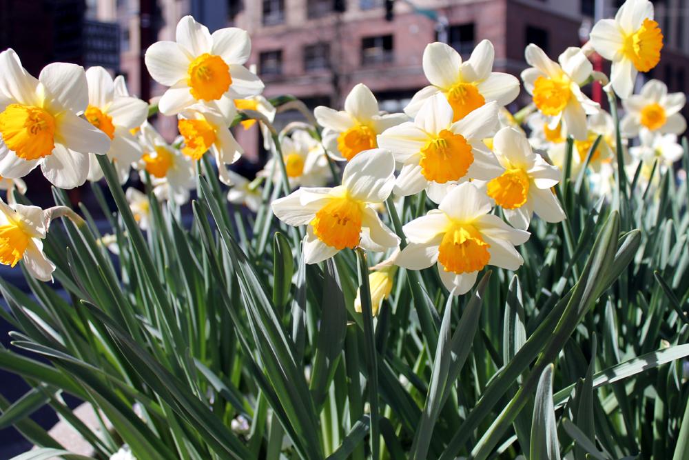 DaringHue-com_Daffodils
